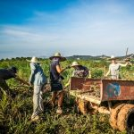 volontaires ramassant manioc workaway malaisie