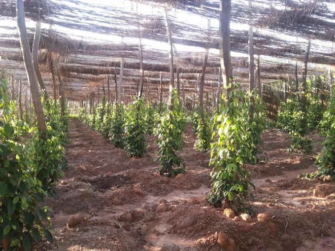 champ de jeune poivre de kampot