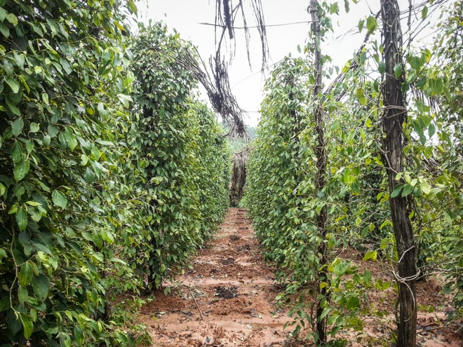champ de poivre de kampot bio