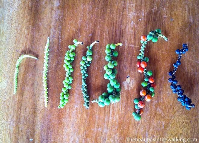 voila a quoi ressemble du poivre de kampot